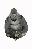 Image of a sitting gorilla against a white background