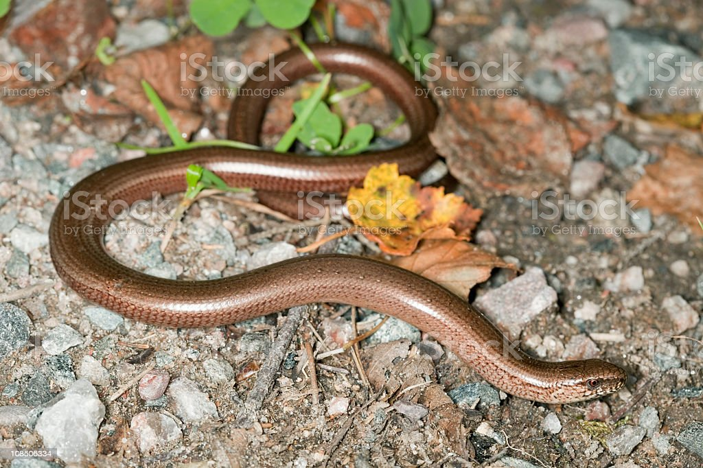 A image of a snake known as the Slowworm Anguis Fragilis stock photo