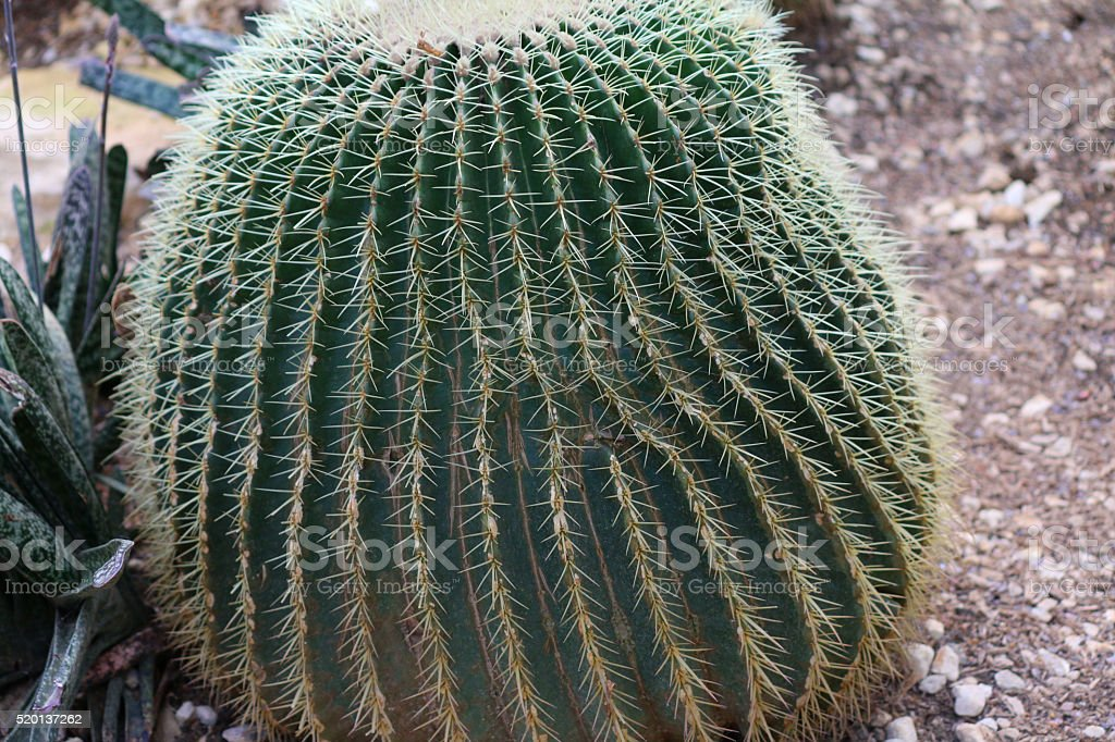 Image of a spiny barrel cactus (Ferocactus) on gravel slope stock photo