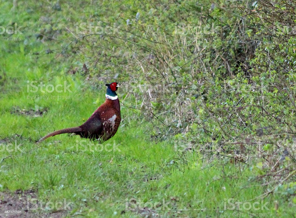 Image of a wild cock pheasant next to a hedgerow stock photo