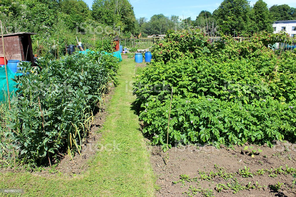 Image of allotment vegetable garden with broad beans, raspberry plants royalty-free stock photo