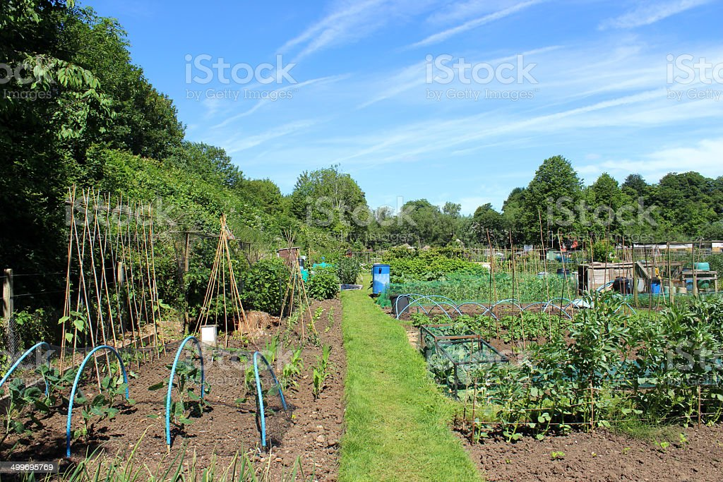 Image of allotment vegetable garden with cabbage plants protected, netting royalty-free stock photo