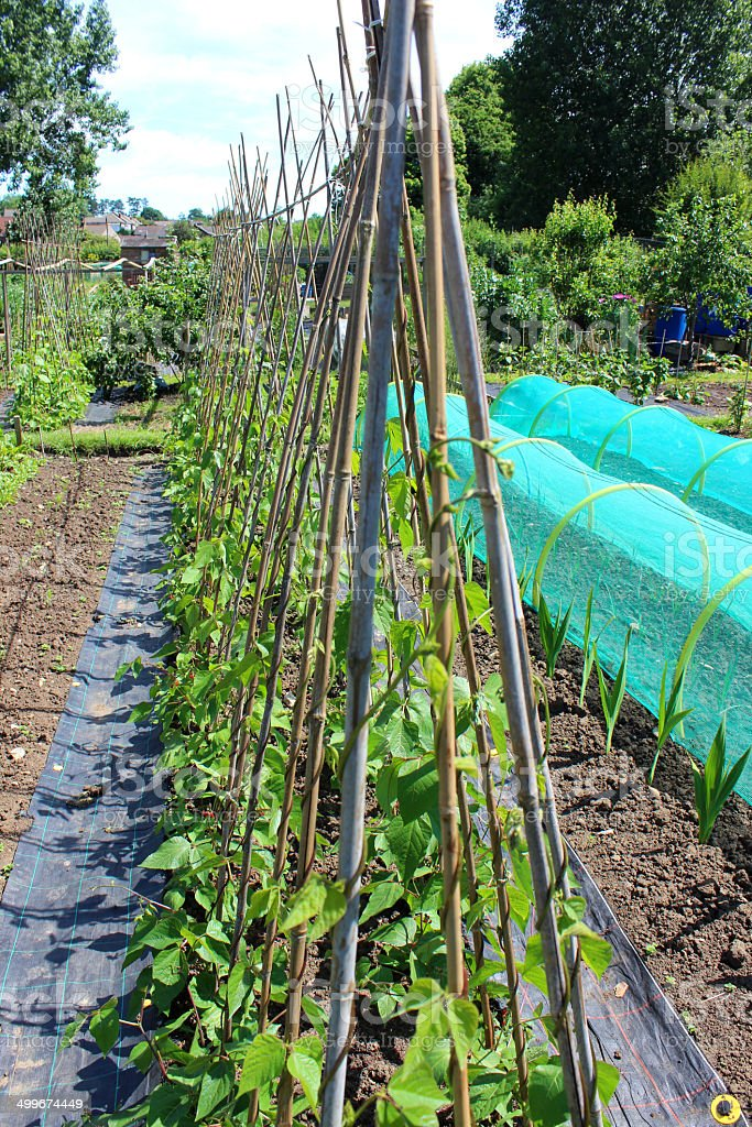 Image of allotment vegetable garden with runner bean plants, cloches stock photo