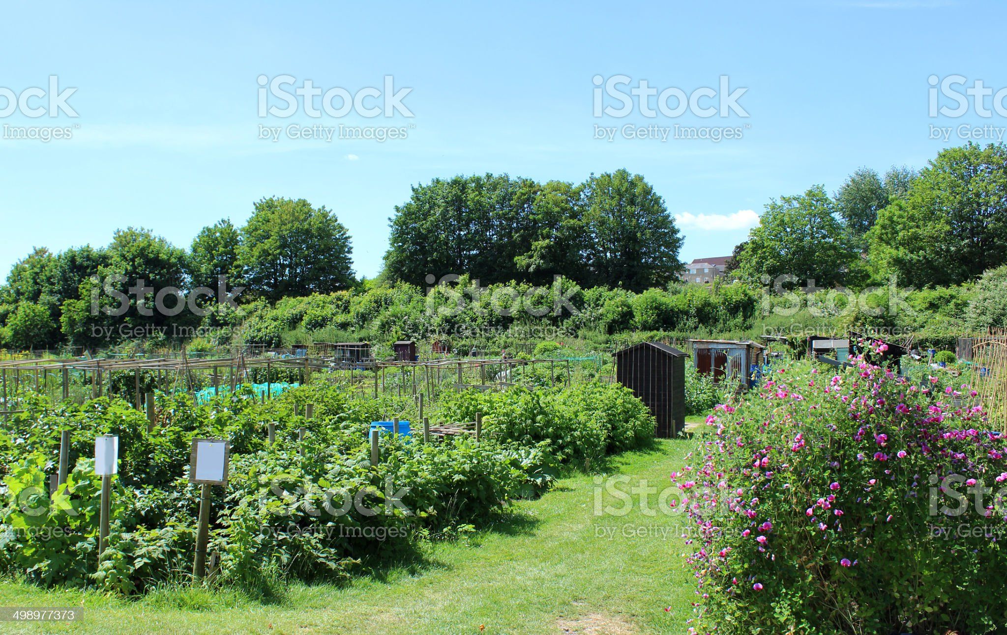 Image of allotment vegetable garden with sheds, sweet peas, brambles royalty-free stock photo