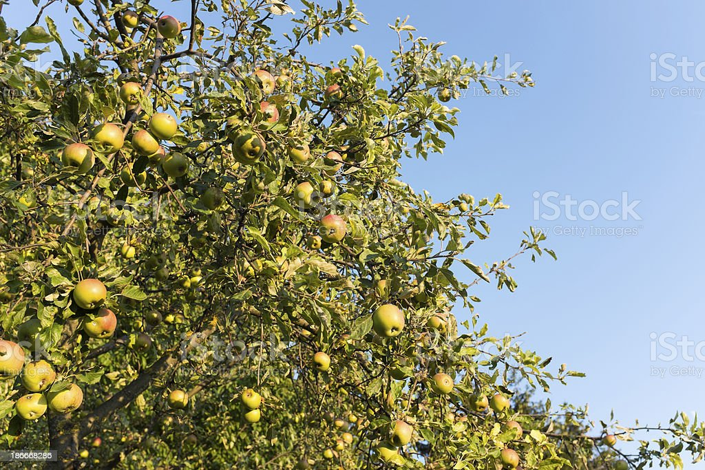 Image of an apple tree royalty-free stock photo