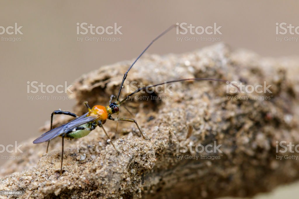 Image of an Assassin bug on nature background. Insect. Animal stock photo
