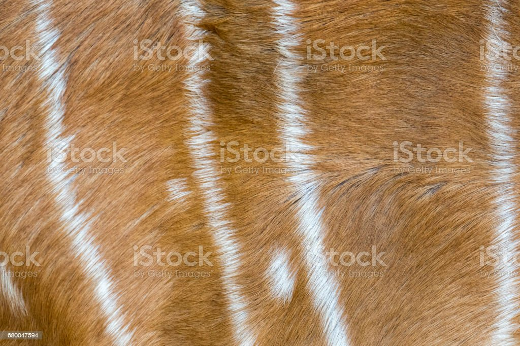 Image of antelope skin. Animals background