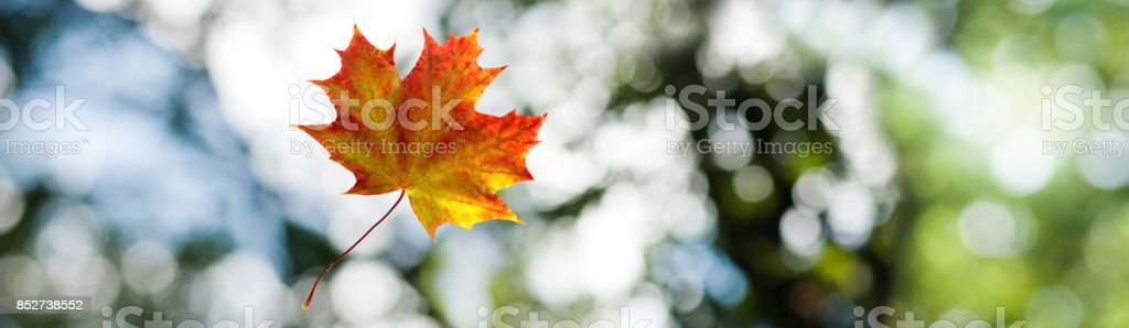 image of autumn leaf on a green background closeup stock photo