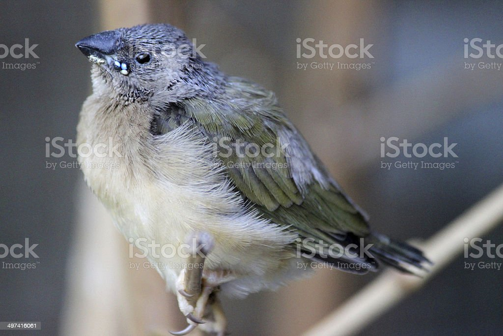 Image of baby Gouldian finch, just fledged from nest box royalty-free stock photo