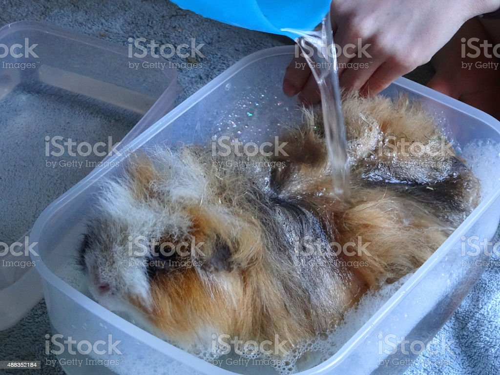 Image of bathing / washing pet guinea pig with small-rodent shampoo stock photo