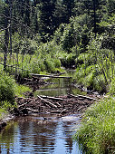 Image of beaver dam with trees all around