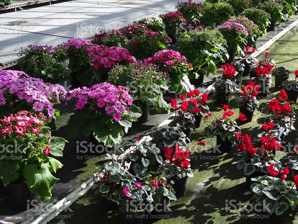 Image of bedding plants in garden centre greenhouse, cyclamens / cinerarias stock photo