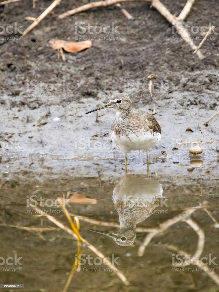 Image of bird are looking for food. Common Sandpiper (Actitis hypoleucos)  Wild Animals. stock photo