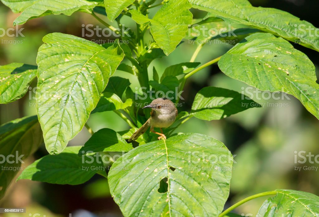 Image of bird on a green leaf. (Orthotomus sutorius) stock photo