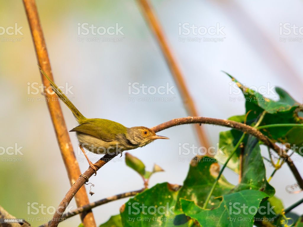 Image of bird (Common Tailorbird)   on the branch on natural background. stock photo