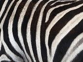 Image of black and white stripes on zebra skin (horse-family)