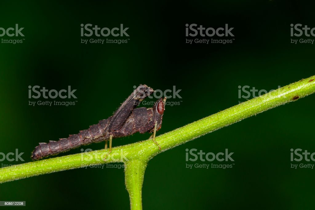 Image of black grasshopper on green branches. Insect Animal. Caelifera., Acrididae stock photo