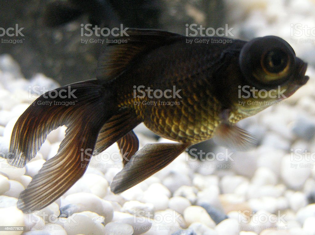 Image of black moor fantail fish, fancy goldfish, big eyes stock photo