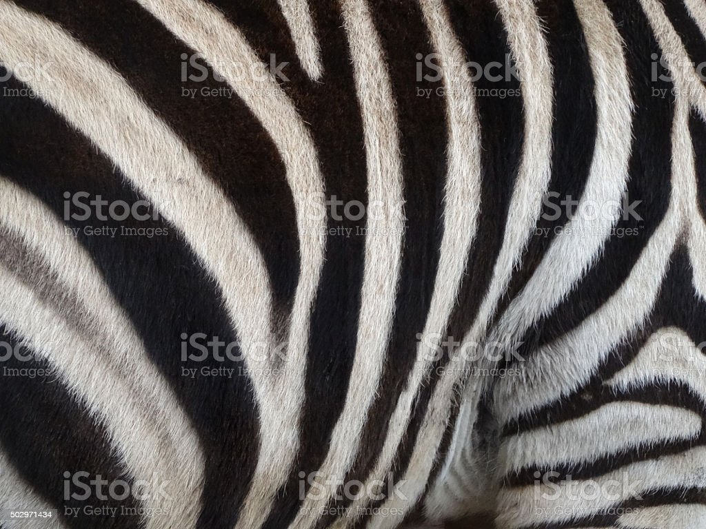 Image of black-white African zebra stripes on back and legs stock photo