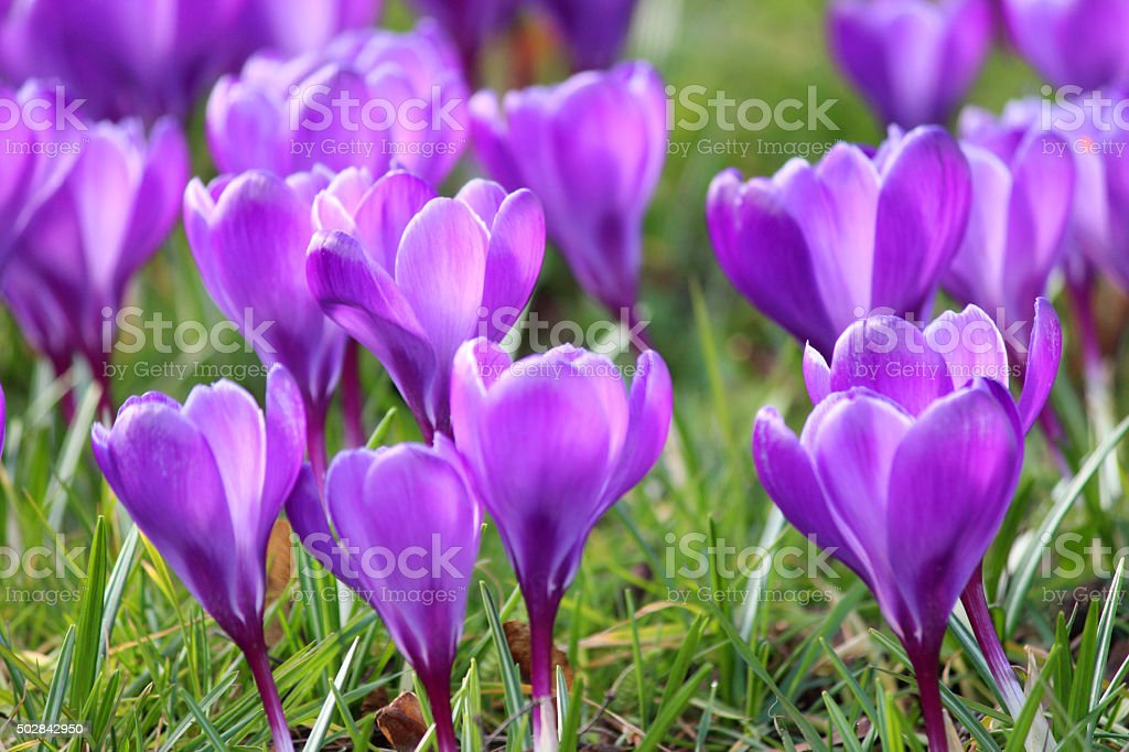 Image of blooming purple crocuses cluster in early spring stock photo
