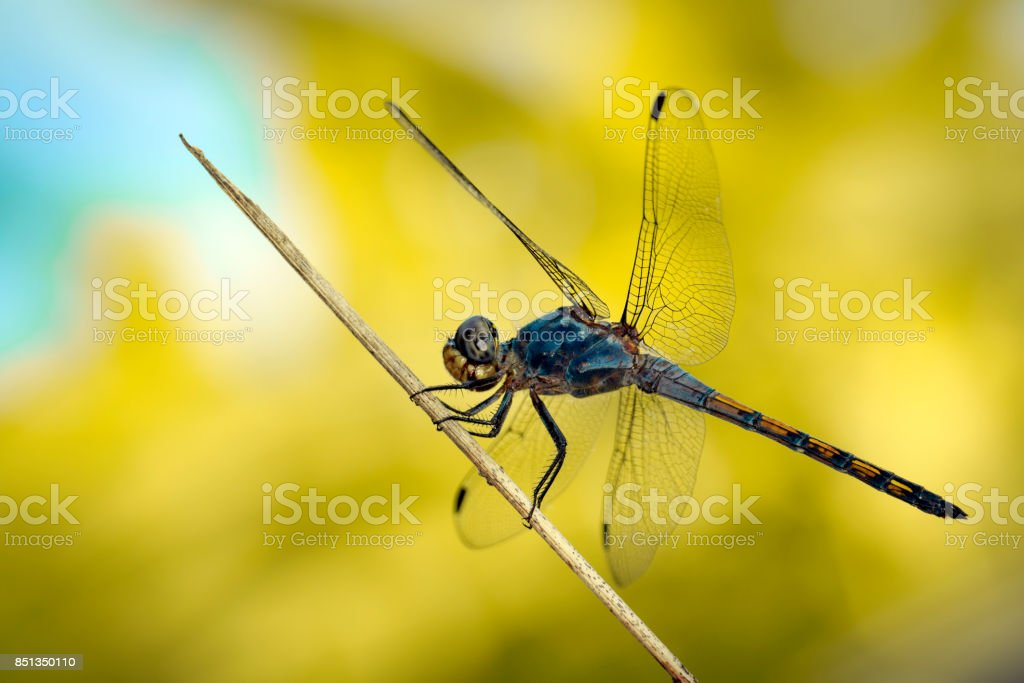 Image of Blue Chaser dragonfly(Potamarcha congner) on a branch on nature background. Insect. Animal stock photo