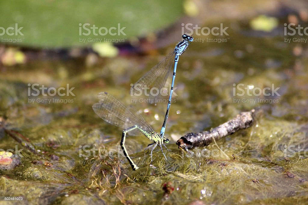 Image of blue damselflies mating, laying eggs in garden pond royalty-free stock photo