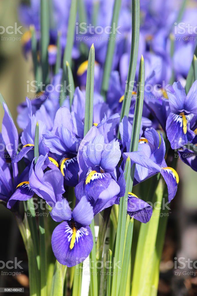 Image of blue iris flowers and leaves in flowering garden-border stock photo