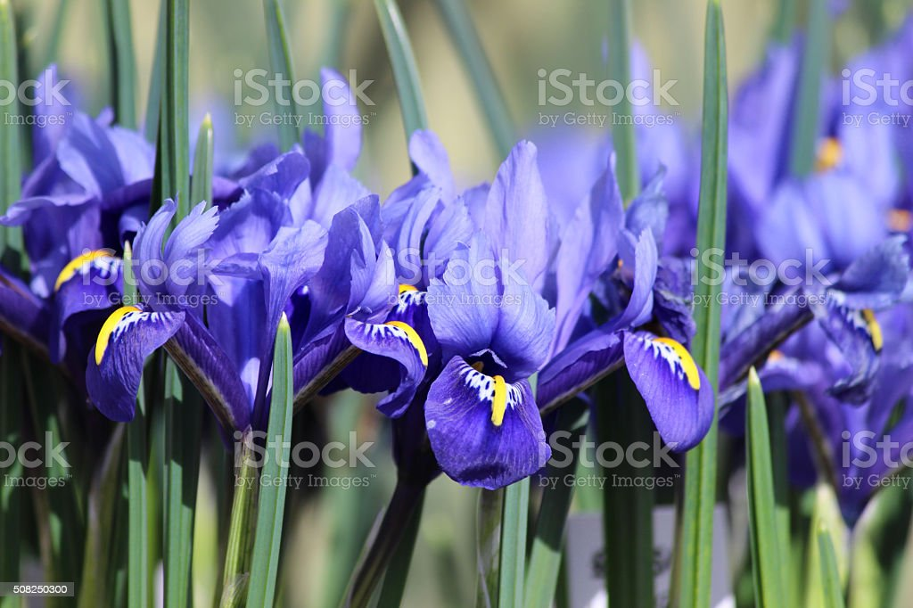 Image of blue iris flowers growing in spring garden border stock photo