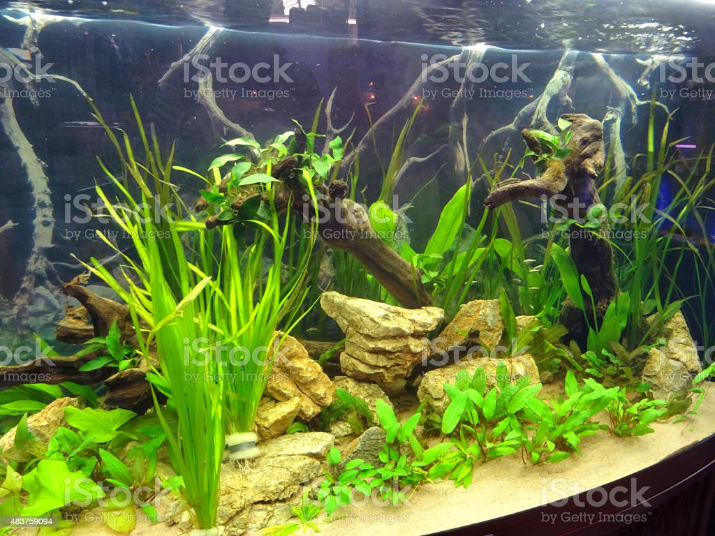 Freshwater fish tank live plants - Image Of Bowfront Tropical Aquarium Fish Tank With Live Plants Bogwood Royalty Free