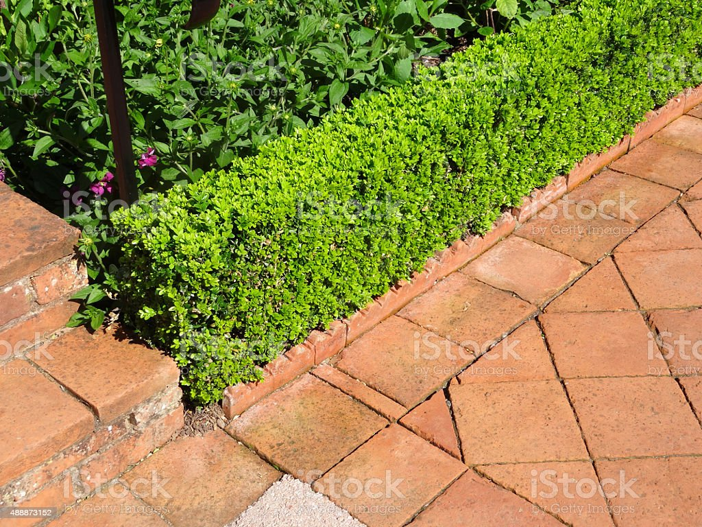 Image of box / boxwood / buxus topiary hedging by paved pathway stock photo
