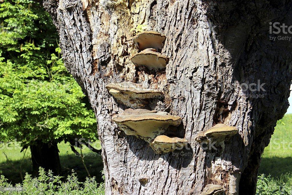 Image of bracket fungus growing on trunk, horse chestnut tree stock photo