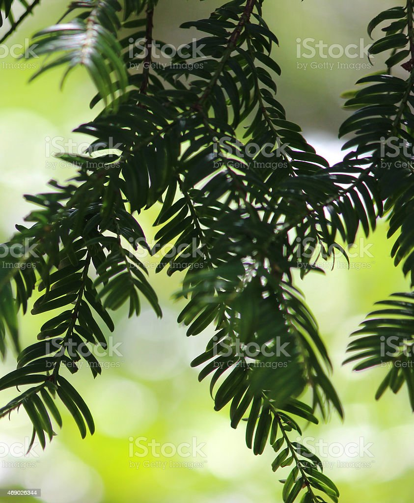 Image of branches and poisonous needles on yew tree (taxus-baccata) stock photo