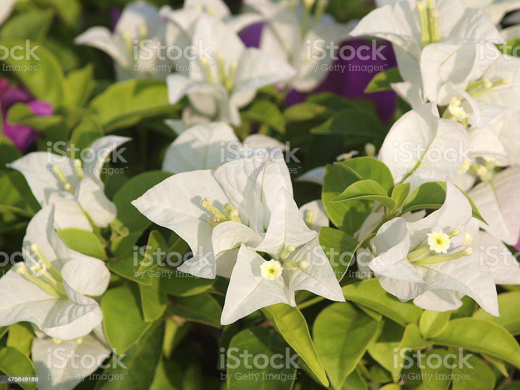 image of bright white Bougainvillea stock photo