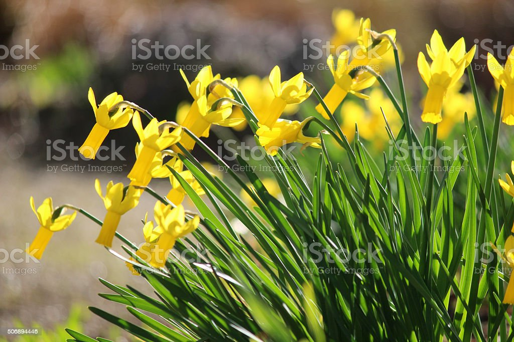 Image of bright yellow narcissus with reflex perianth in rock-garden stock photo