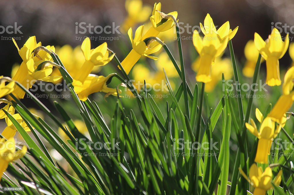 Image of bright yellow narcissus with reflex-perianths illuminated by sunshine stock photo