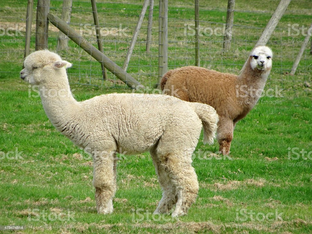 Image of brown and white alpacas in fenced farm field stock photo