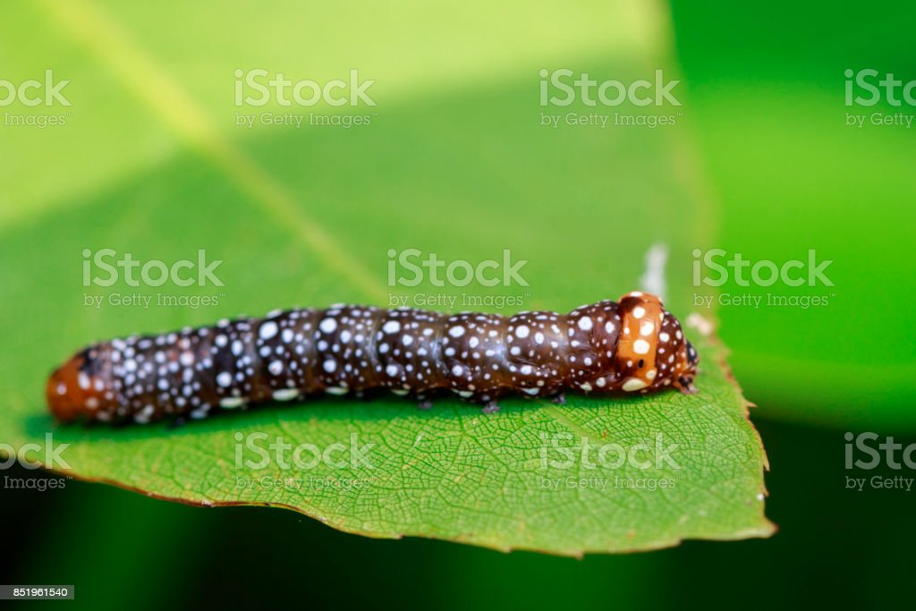 Image of brown caterpillar on green leaves. Insect. Animal. stock photo