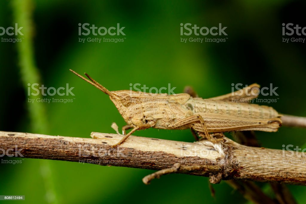 Image of brown grasshopper on dry branches. Insect Animal. Caelifera., Acrididae stock photo
