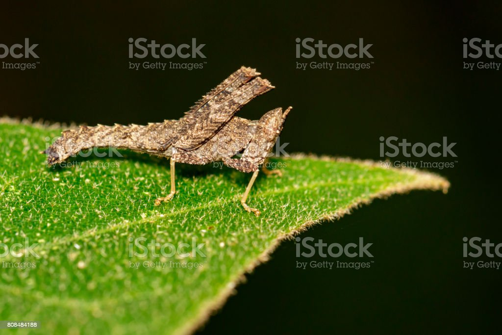 Image of brown grasshopper on green branches. Insect Animal. Caelifera., Acrididae stock photo