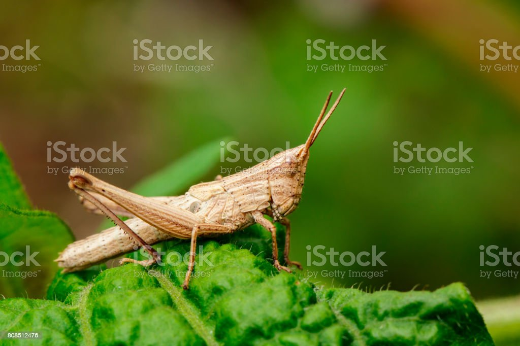 Image of brown grasshopper on green leaves. Insect Animal. Caelifera., Acrididae stock photo