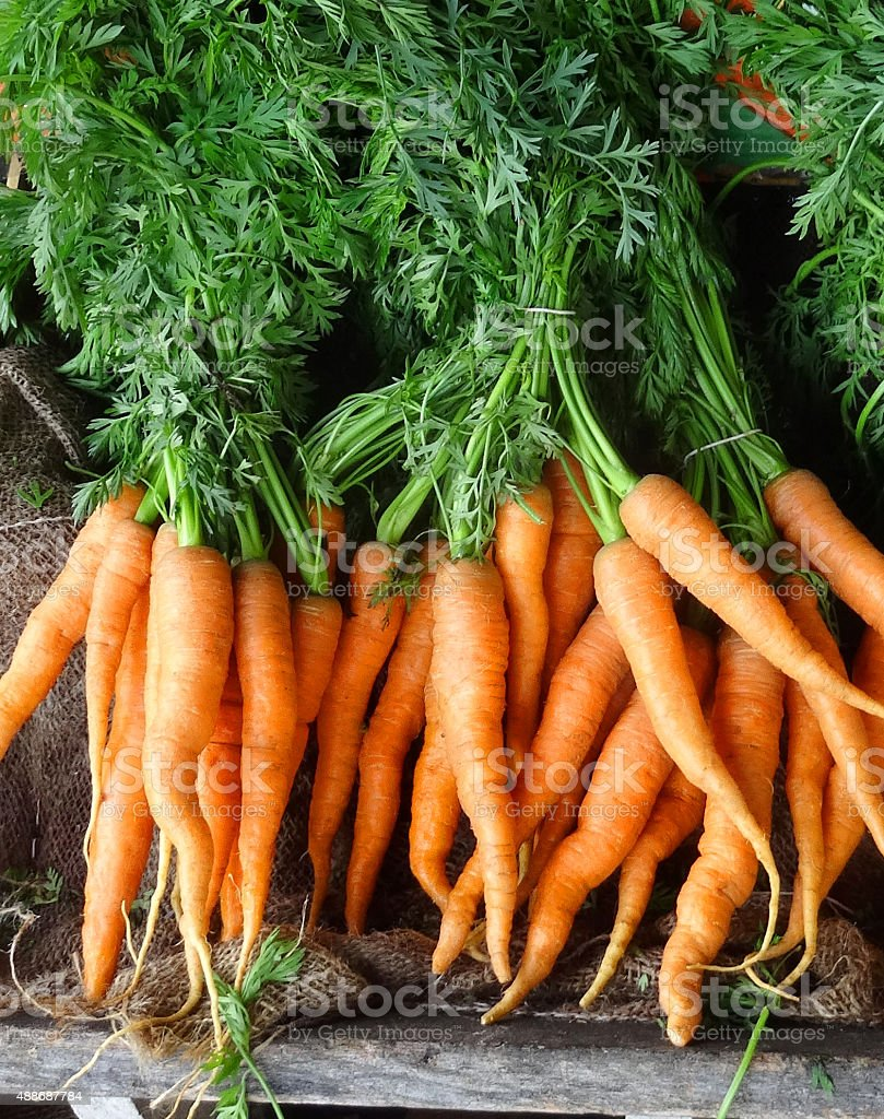 Image of bunches of carrots with green tops / foliage / leaves stock photo