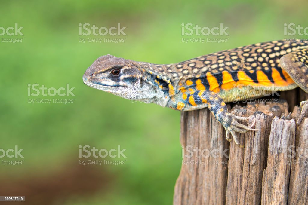 Image of Butterfly Agama Lizard on nature background. . Reptile Animal