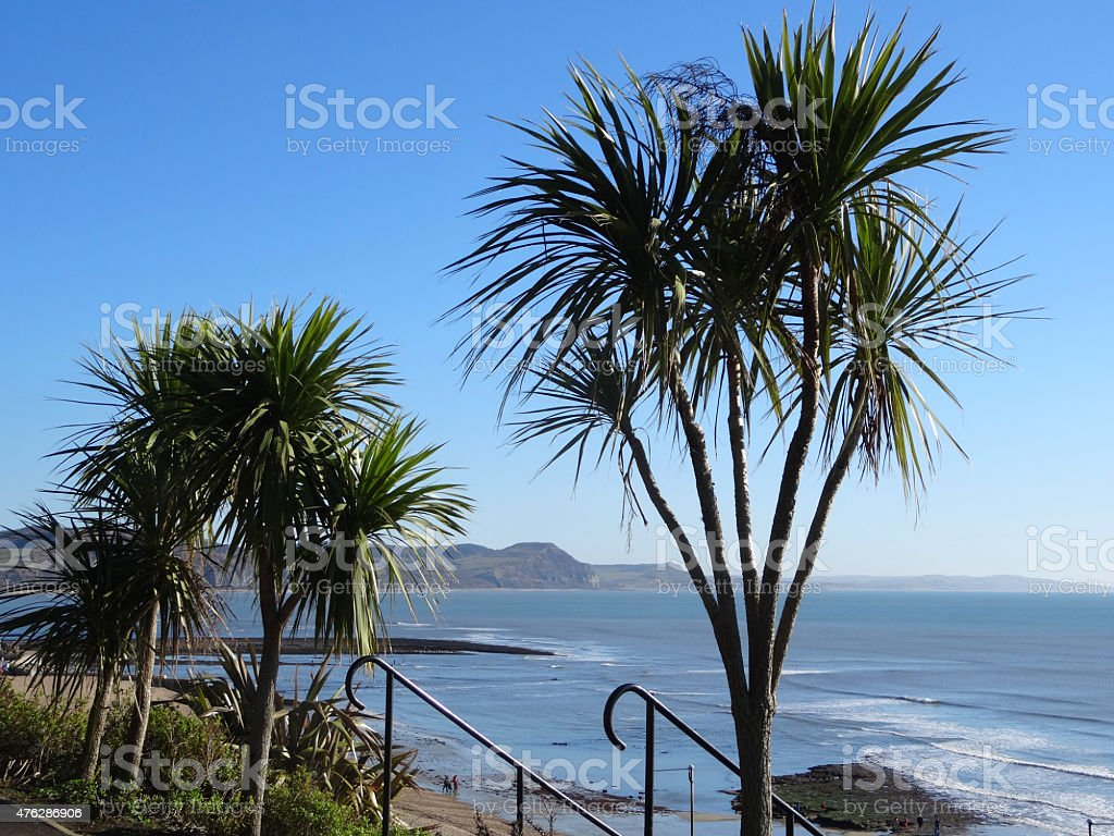 Image of cabbage trees (cordyline palms) growing by seaside breeze stock photo