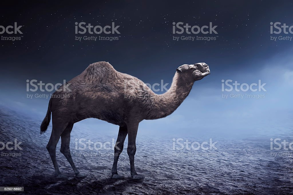 Image of camel stock photo