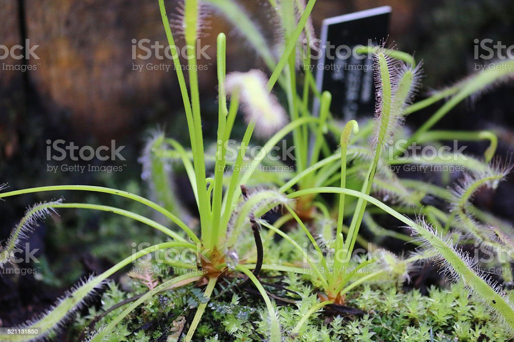 Image of carnivorous sundew plant, mucilaginous droplets on green tentacles stock photo