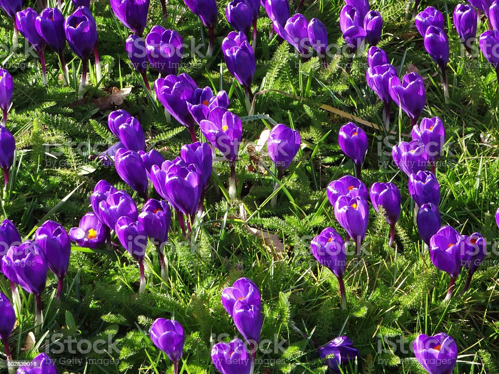 Image of carpet of purple flowering crocuses in garden lawn stock photo