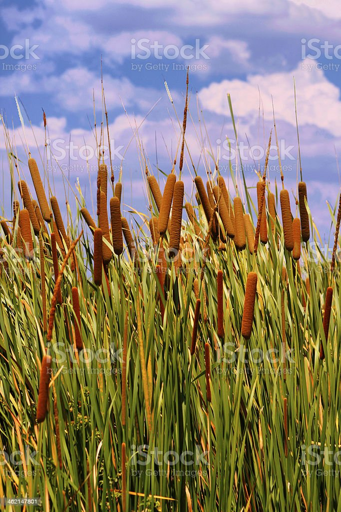 HDR Image of Cattails (Typha orientalis) stock photo