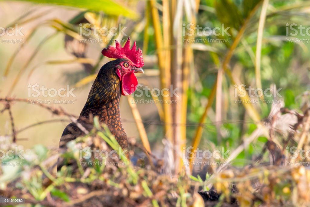 Image of chicken on nature background. Farm Animals. stock photo