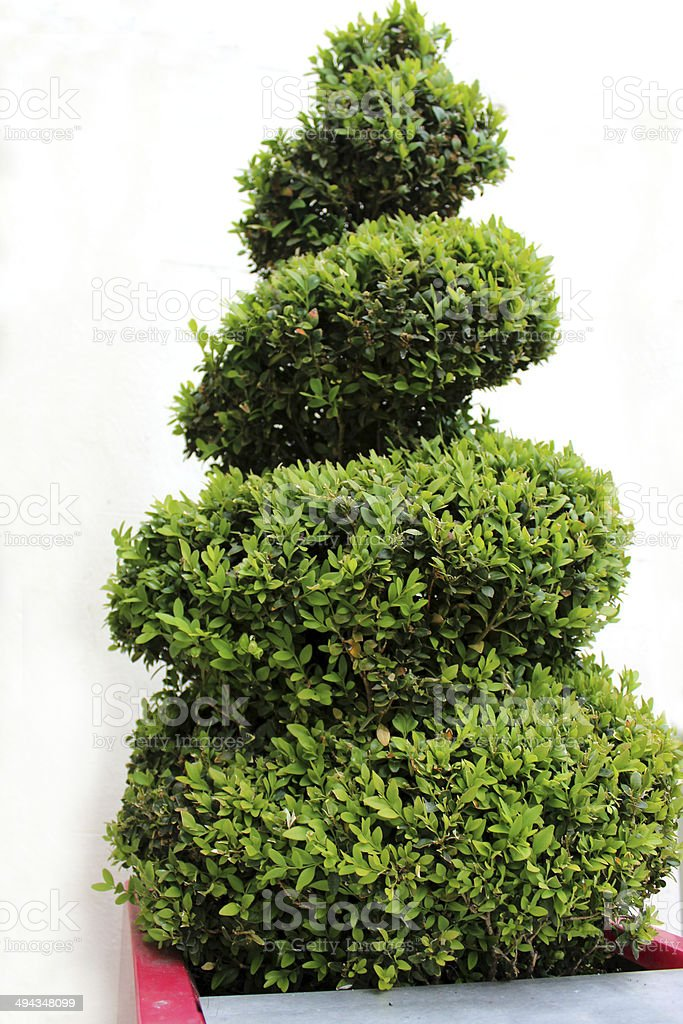 Image of clipped spiral topiary box / boxwood plant (buxus sempervirens) stock photo