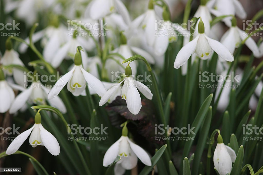 Image of close-up of snowdrops blooms (galanthus nivalis) stock photo